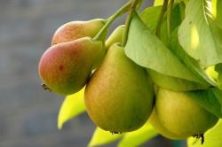 Польза груш при простатите