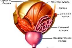 Устройство мочевого пузыря